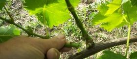 Potatura verde nella fase del germogliamento.